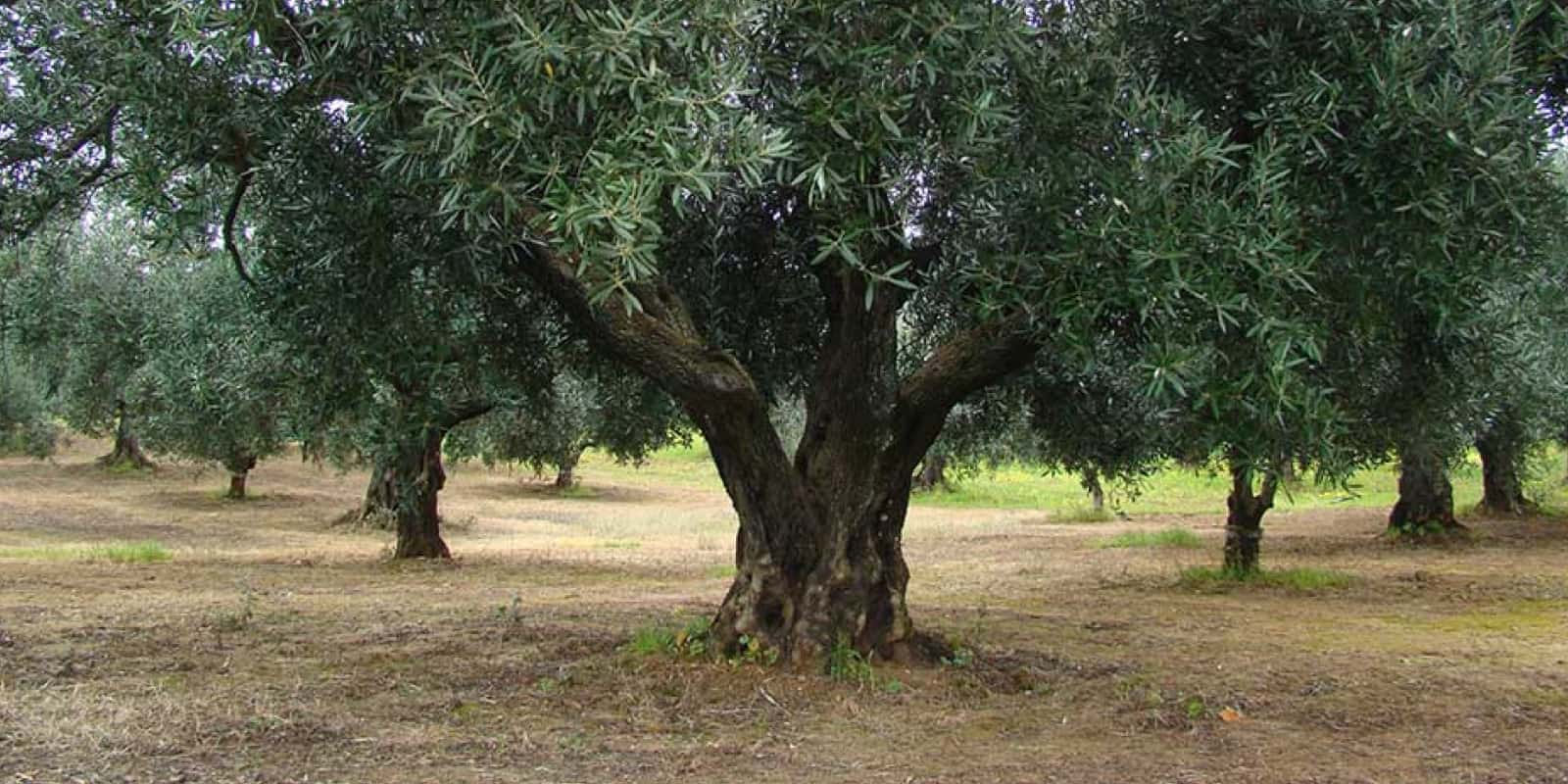 Photo of a large Italian olive tree in a grove